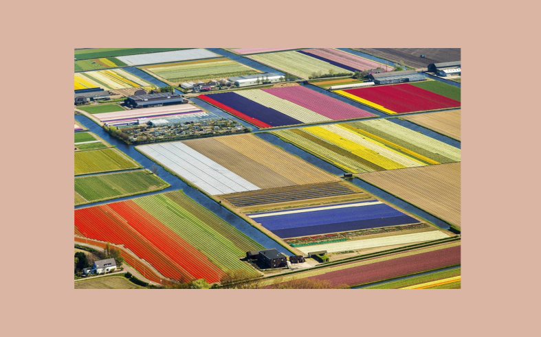 tulip farms